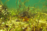 Black Bullhead (guarding eggs)<br />