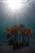 Ecklonia radiata (Common Kelp)