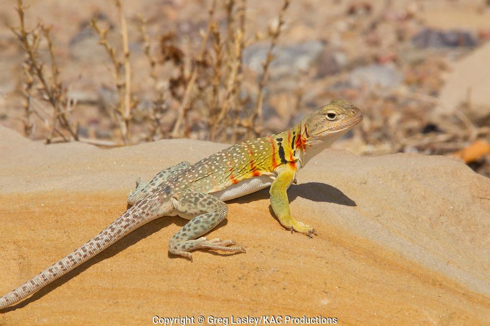 Eastern Collared Lizard.Crotaphytus collaris.Cottonwood Canyon.Comanche National Grasslands.Baca Co., Colorado.6 July 2011