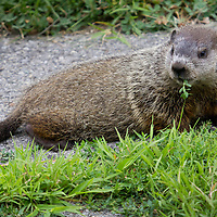 Middletown, New York - A groundhog  feed on grass growing through cracks in the sidewalk in front of a suburban home on July 17, 2014.