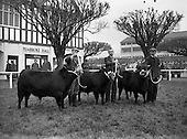 1957 - R.D.S. Bull show first day, in Ballsbridge, Dublin