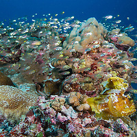 A shoal of Golden Sweepers, Parapriacanthus ransonneti, and Leaf Scorpionfish, Taenianotus triacanthus, swimming close to a reef, Palau islands, Pacific Ocean,