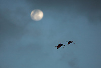 Scarlet ibises fly past the moon.
