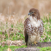 A juvenile red-tailed hawk (Buteo jamaicensis) hunts in an open field in the Ridgefield National Wildlife Refuge in Washington state.