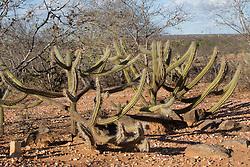 Cactus xique-xique (Pilocereus gounellei). Vegetacao de caatinga , clima semi arido, tipica do sertao nordestino./ Xique-xique Cactus. Caatinga vegetation, climate semi arid, typical of the northeastern backlands. Serrita, Pernambuco. Ano 2014. Foto Adri Felden/Argosfoto