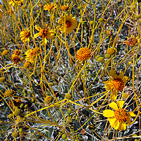 USA, California, San Diego County. Brittlebush flowers blooming in Anza-Borrego Desert State Park.
