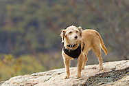 Bear Mountain, New York  - A dog stands on a rocky ledge at the top of Bear Mountain at Bear Mountain State Park on Oct. 24, 2014. ©Tom Bushey / The Image Works