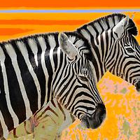 Zebra (Equus burchelli), Fisher's Pan, Namutoni, Etosha National Park, Kunene Region, Namibia.