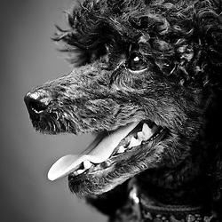 Miniature poodle black - owner Michelle Lathrop