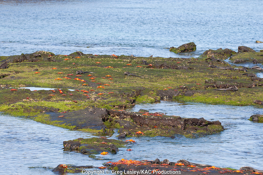 Marine Iguanas and Sally Lightfoot Crabs.feeding at low tide.Fernandina Island.AKA Narborough Island.Galapagos Islands,.Ecuador.25 August 2010