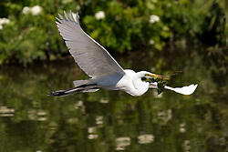 A great egret (Ardea alba) flying with nesting material in the Gatorland alligator breeding marsh and bird sanctuary near Orlando, Florida. The bird sanctuary is the largest and most easily accessible wild wading bird rookery in east central Florida. Great egrets were hunted almost to extinction for its plumage, used by the fashion industry, in the 1800's. The Aududon Society was formed during this period to push for protection for the birds from the fashion industry.