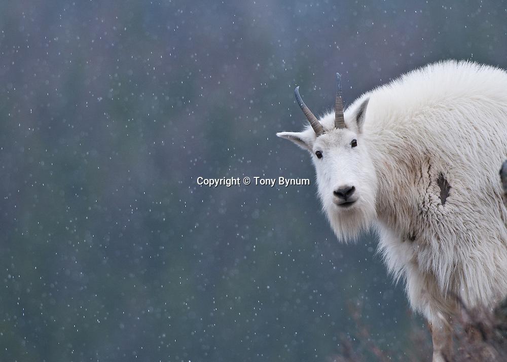 http://cdn.c.photoshelter.com/img-get2/I0000UVAkoDYUV0k/fit=1000x750/nanny-mountain-goat-glacier-national-park-4.jpg