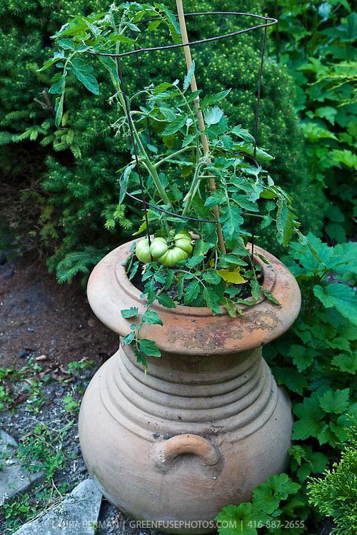 Tomato in terra cotta urn.