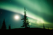 Alaska.  Northern Lights, Aurora Borealis glows in green curtains in a dark sky shared by the moon.