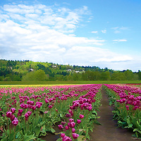 An image of a large tulip field wilh hills in the background.