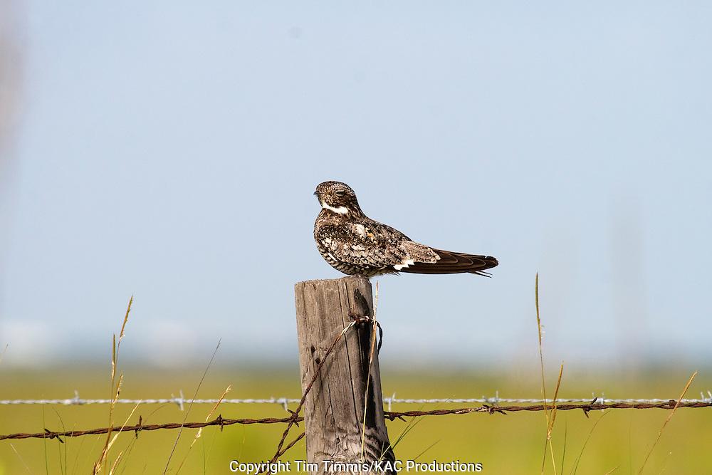 Common Nighthawk, Chordeiles minor, Brazoria NWR, sitting on fence post, soft lighting