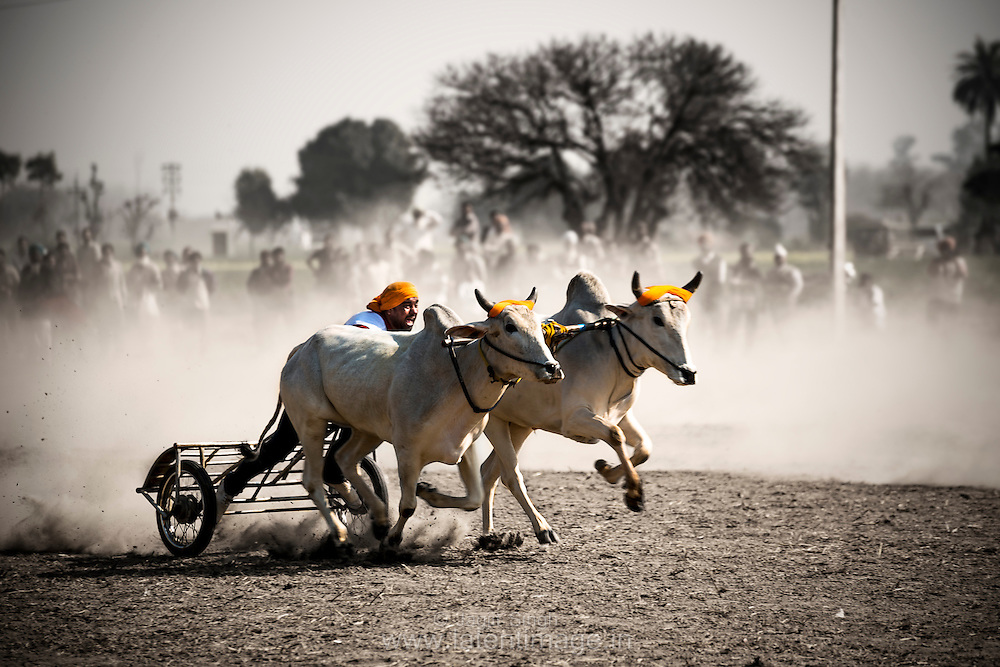 Image result for bullock cart race ludhiana