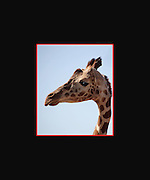 Photo by Leandra of giraffe, framed against blue sky.