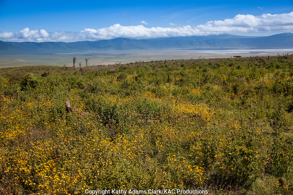 Yellow flowers and clear sky seen from the rim of the Ngorongoro crater, Ngorongoro Conservation Area, Tanzania, Africa.