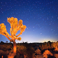 Joshua tree, in Joshua tree national park, lit by campfire at night
