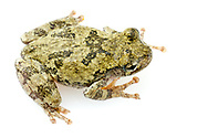 Cope's Gray Tree Frog (Hyla chrysoscelis)<br /> United States: Alabama: Tuscaloosa Co.<br /> Tulip Tree Springs off Echola Rd.; Elrod<br /> 27-Jun-2016<br /> J.C. Abbott #2839