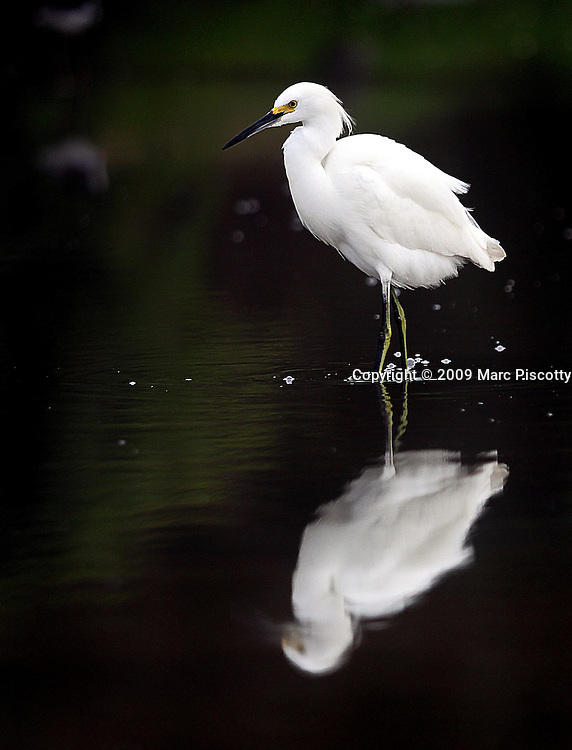 """SHOT 2/10/09 5:14:02 PM - A Snowy Egret fishes in the swallow waters along a river in Sayulita, Mexico. Adults are typically 61 cm long and weigh 375 g. They have a slim black bill and long black legs with yellow feet. The birds eat fish, crustaceans, and insects. They stalk prey in shallow water, often running or shuffling their feet, flushing prey into view, as well """"dip-fishing"""" by flying with their feet just over the water. Snowy Egrets may also stand still and wait to ambush prey, or hunt for insects stirred up by domestic animals in open fields..At one time, the beautiful plumes of the Snowy Egret were in great demand by market hunters as decorations for women's hats. This reduced the population of the species to dangerously low levels. Now it is protected by law, under the Migratory Bird Treaty Act, this bird's population has rebounded.The Snowy Egret (Egretta thula) is a small white heron. Sayulita is a small fishing village about 25 miles north of downtown Puerto Vallarta in the state of Nayarit, Mexico. Known for its consistent river mouth surf break, roving surfers """"discovered"""" Sayulita in the late 60's with the construction of Mexican Highway 200. Today, Sayulita is a prosperous growing village of approximately 4,000 residents. Hailed as a popular off-the-beaten-path travel destination, Sayulita offers a variety of activities such as horseback riding, hiking, jungle canopy tours, snorkeling and fishing. Still a mecca for beginner surfers of all ages, the quaint town attracts upscale tourists with its numerous art galleries and restaurants as well. Sayulita has a curious eclectic quality, frequented by native Cora and Huichol peoples, travelling craftsmen as well as international tourists. Sayulita is the crown jewel in the newly designated """"Riviera Nayarit"""", the coastal corridor from Litibu to San Blas. It's stunning natural beauty and easy access to Puerto Vallarta have made Sayulita real estate some of the most sought after in all of Mexico..(Photo by"""