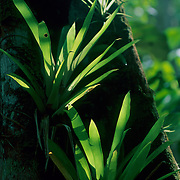 Epiphytic bromeliad on tree trunk in rainforest, Amazon region, Para, Brazil