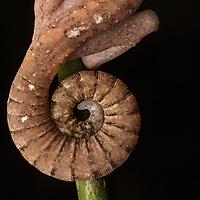 Tail of a Cat Gecko in Sarawak in Borneo
