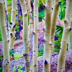 Birch tree trunks , Rocky Mountain National Park, Colorado