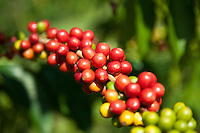 Coffee trees are perennial dicotyledon that belongs to the Rubiaceae family.  The beans that grow from these plants are commonly called coffee cherries.  There are different coffee species, but two main species are cultivated.  Arabica coffee, accounts for 80 percent of the world's production and Robusta coffee, makes up 20 percent. The two differ in regards of taste and caffeine content.
