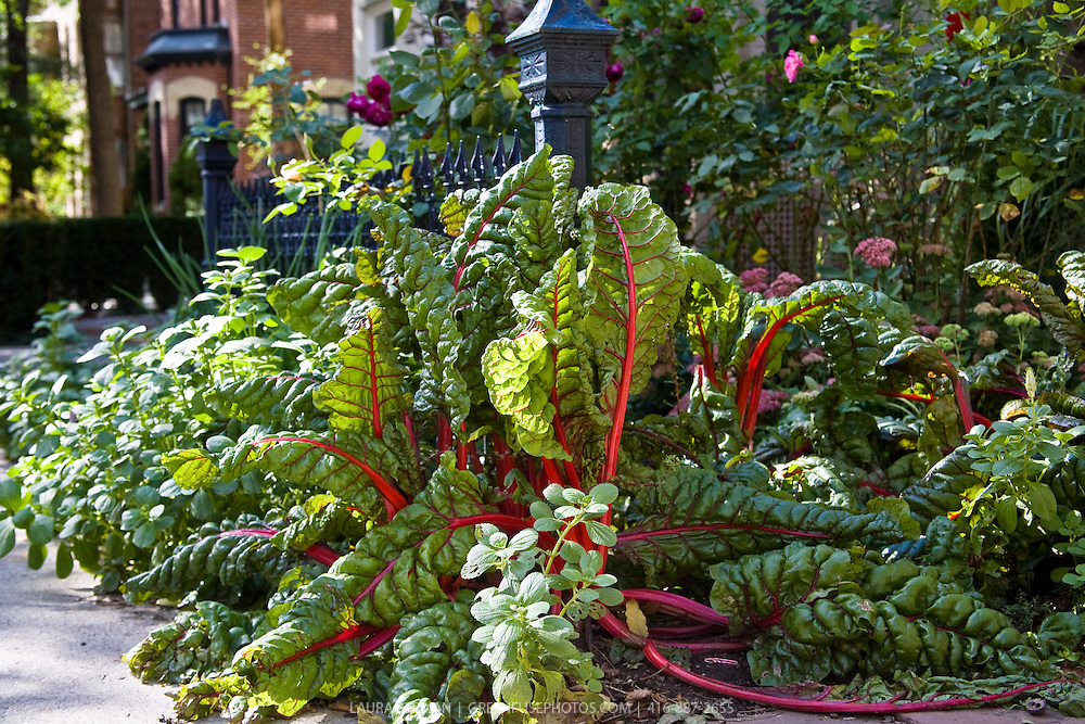 Red-stemmed Ruby chard, Autumn Joy sedum, roses and herbs growing in an edible landscape front yard garden  in downtown Toronto