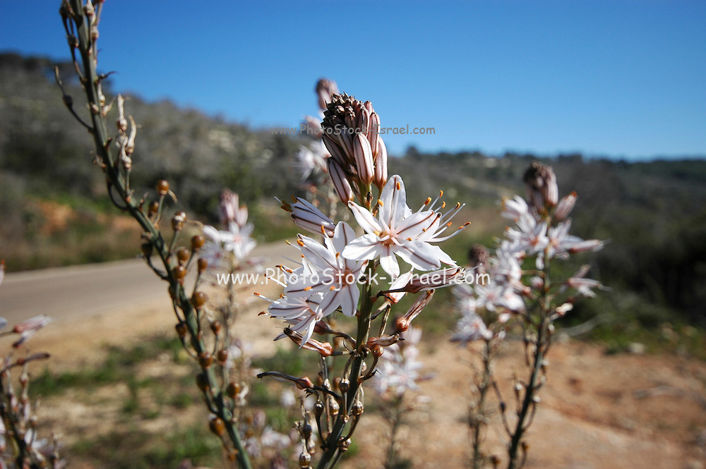 Israel, White asphodel (Asphodelus albus) in Nature, .