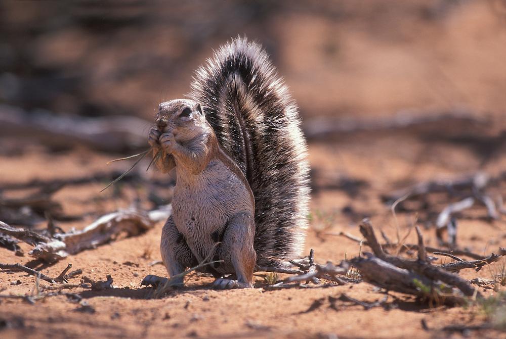 South Africa, Kgalagadi Transfrontier Park, Cape Ground Squirrel (Xerus inauris) feeds in Kalahari desert