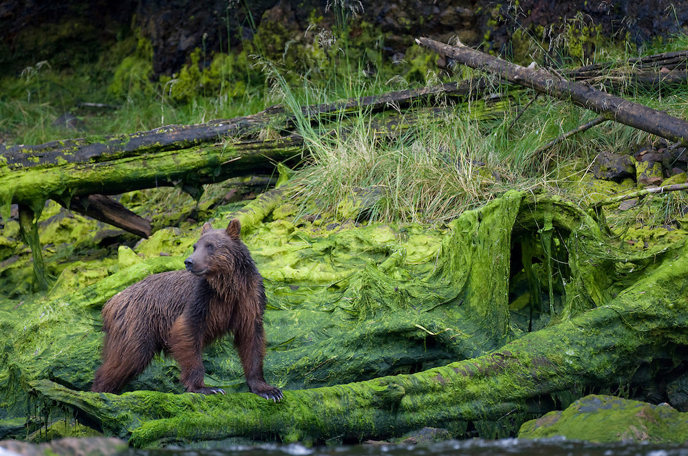 USA, Alaska, Brown (Grizzly) Bear (Ursus arctos) fishing for spawning Sockeye Salmon  in front of shoreline covered in algae at low tide along Pavlof Harbor