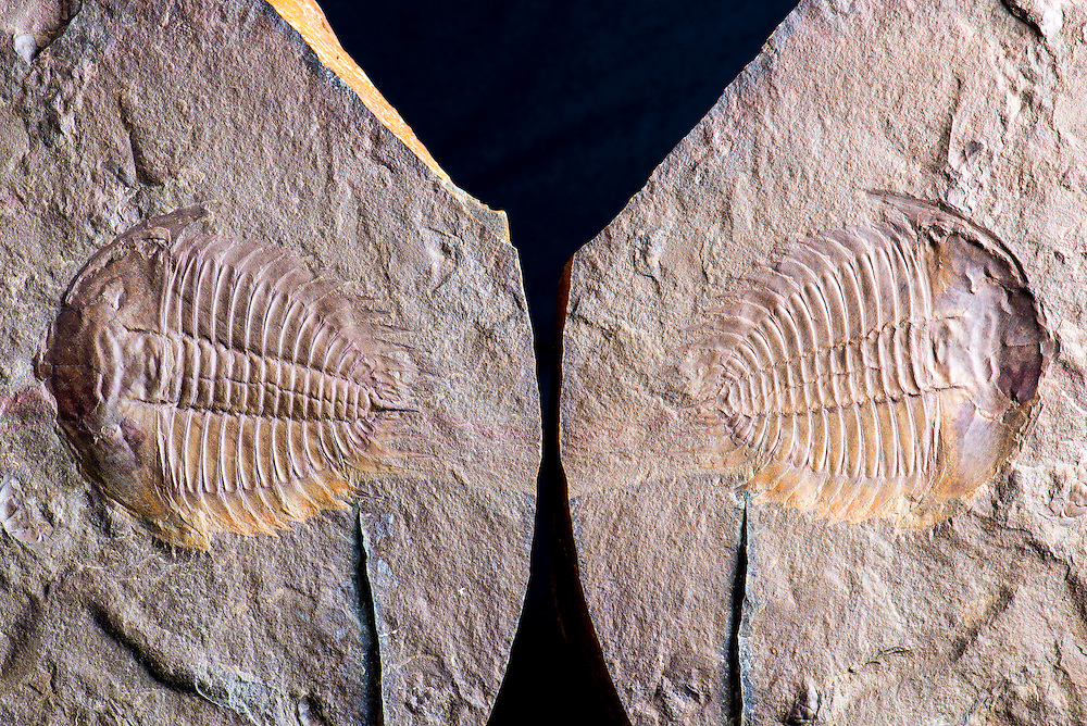 This is a marvelous specimen of Wanneria sp. (sagittal length: 68mm) split pair from the Lower Cambrian Eager Formation of British Columbia.