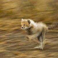 Tanzania, Ngorongoro Conservation Area, Ndutu Plains, Blurred image of running Cheetah cub (Acinonyx jubatas) playing on savanna