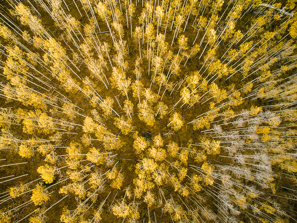 Low-altitude, straight-down aerial view of fall aspen trees in Aspen, Colorado.