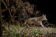 Coyote (Canis latrans)<br /> TEXAS: Travis Co.<br /> Brackenridge Field Laboratory; Austin<br /> 15-March-2011<br /> J.C. Abbott