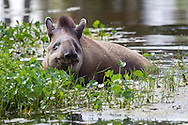 Lowland or South American Tapir (Tapirus terrestris)<br /> FLORIDA: Palm Beach Co.<br /> Lion Country Safari<br /> 21.May.2010<br /> J.C. Abbott