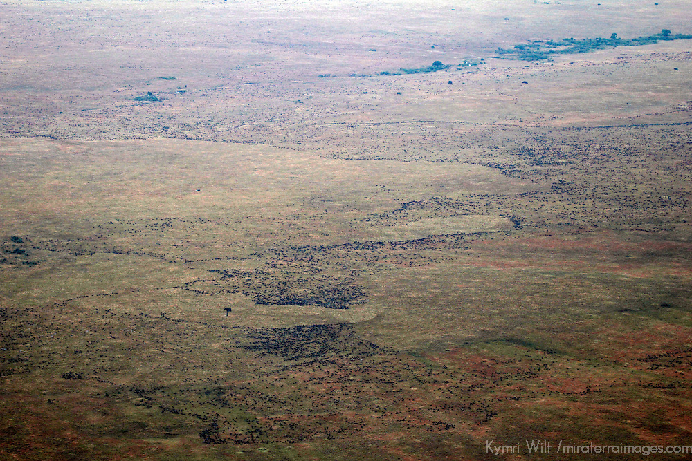 Africa, Kenya, Masai Mara. Wildebeest migration in the Mara.