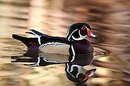 Wood Duck (Aix sponsa), L.A. County Arboretum, California