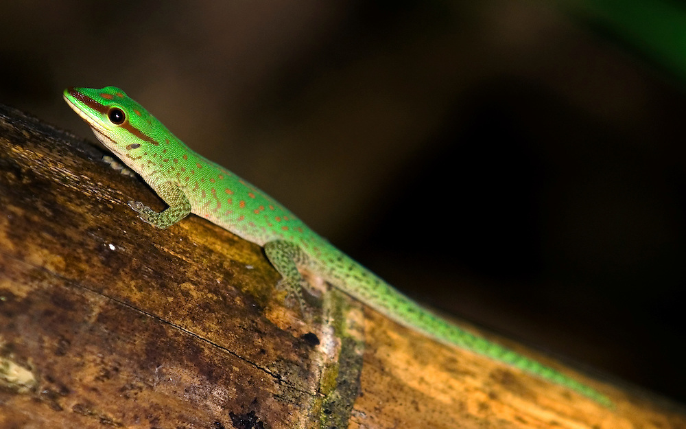 Seipps Day Gecko (Phelsuma seippi)