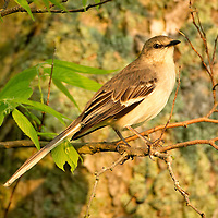 May 17, 2013 - Pleasant Hill, Kentucky, USA - A mockingbird sits in a tree at Shaker Village. (Credit Image: © David Stephenson/ZUMA Press)