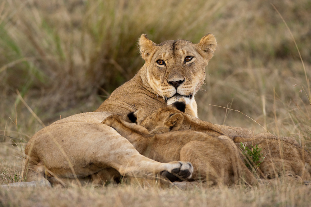 Africa, Kenya, Masai Mara Game Reserve, Lioness (Panthera leo) nursing young cubs in grass on savanna