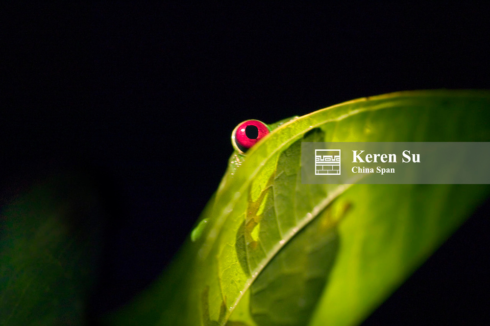 Red-eyed tree frog, Panama
