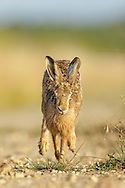 European Hare (Lepus europaeus) adult running along farmland track, Norfolk, UK.
