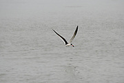 A Skimmer, looking for food along a Jekyll Island Georgia Beach.