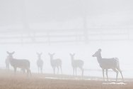 A herd of white-tailed deer stands in a field in Westtown, New York, on a foggy winter afternoon.
