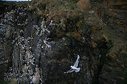 14: SVALBARD KITTIWAKES ON CLIFFS