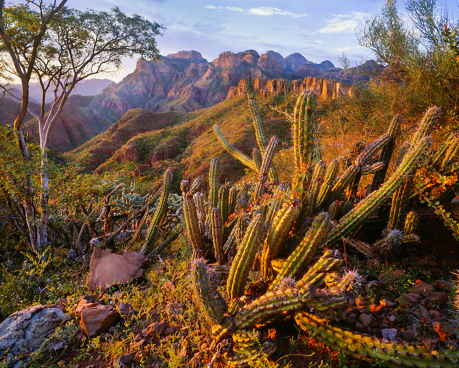 6104-1007C ~ Copyright:  George H. H. Huey ~ The Sierra de la Giganta with pitaya agria cactus [Stenocereus gummosus] and palo blanco tree, at sunrise.  South-central Baja California, Mexico.